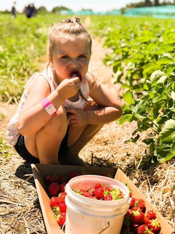 Strawberry picking at Tougas Family Farm