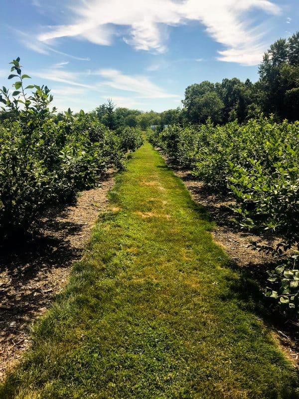 Harvey's Farm Blueberries