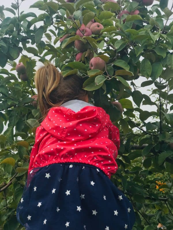 Apple Picking at Tangerini's Spring Street Farm