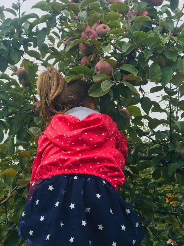 Apple Picking at Tangerini's Spring Street Farm